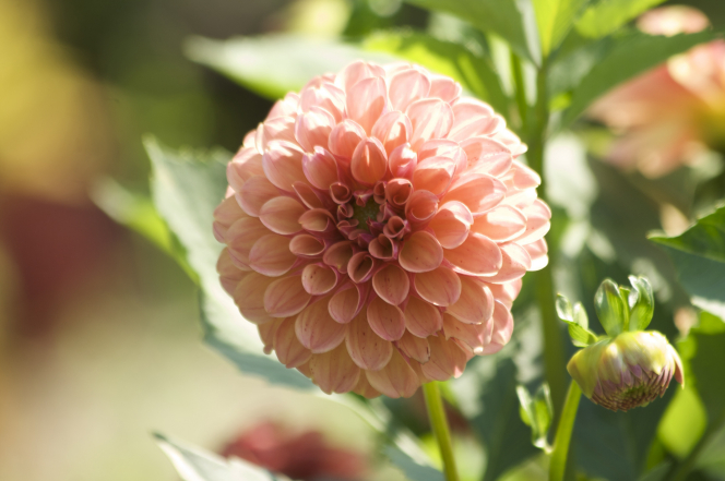 A light pink dahlia on a green stem with the sun shining in the background.