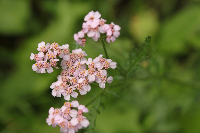 Little pink flowers bloom on a plant with green stems.