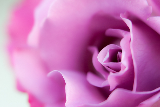 A detailed close-up of petals on a pink rose.