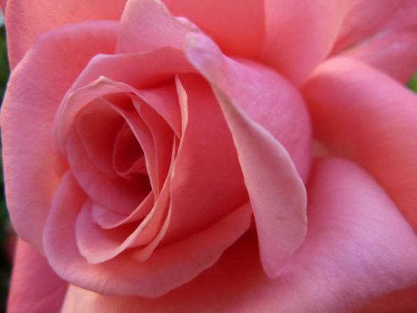A close-up image of a pink rose.