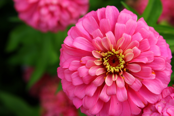 A pink zinnia with a yellow center next to more zinnias.