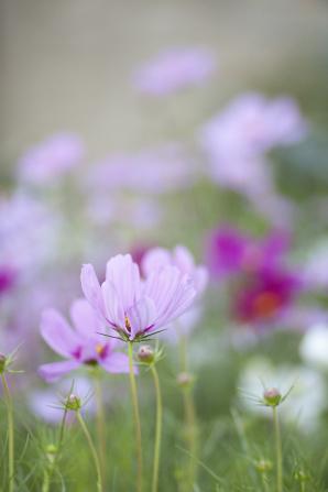 Light purple wildflowers bloom in a field, with dark purple wildflowers in the background.