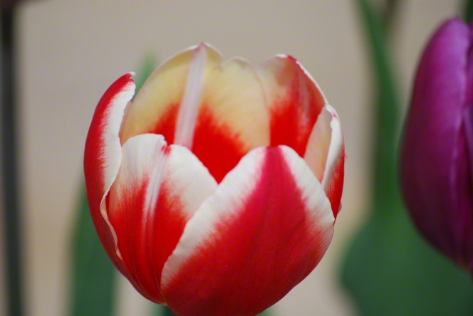 A tulip in full bloom, red with white edges.