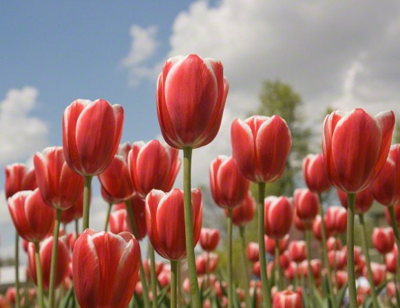 A group of red tulips in bloom with a blue sky above them.