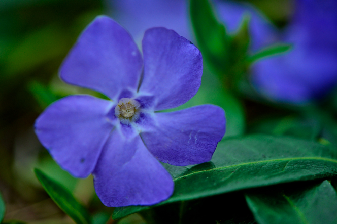 An indigo vinca, or periwinkle, in bloom surrounded by dark green leaves.