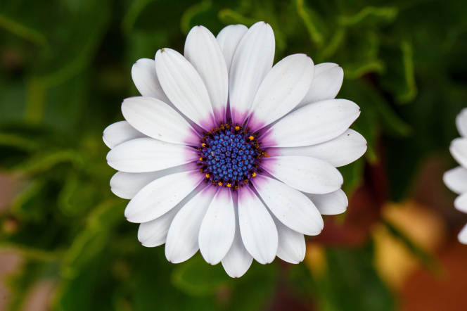 A white Cape daisy, also known as osteospermum, with a blue and purple center.