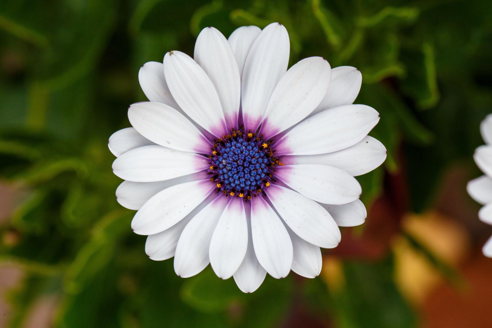 Cape daisy share izmirmasajfo