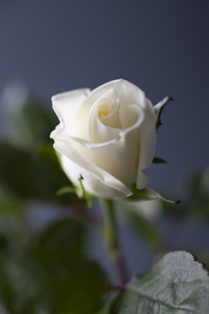 An image of a white rose partially closed, with dark green leaves.