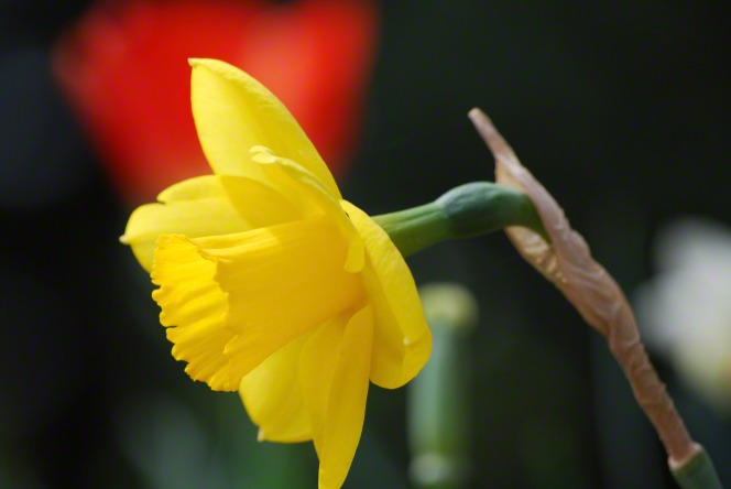 A yellow daffodil in full bloom on the stem, with a blurred red flower in the background.