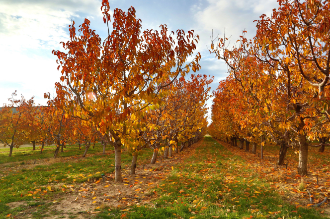 Rows of trees in an orchard with yellow and orange leaves, with a blue sky and clouds.