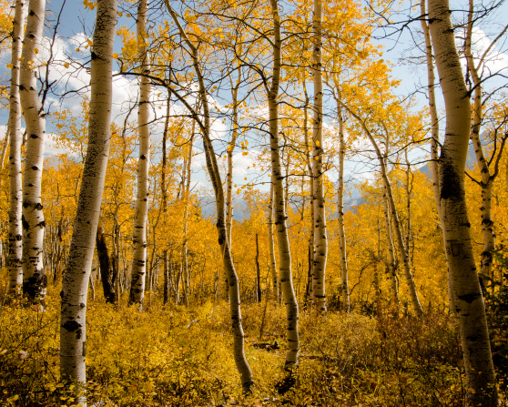 Aspen trees with yellow leaves in autumn and a blue sky with clouds above.