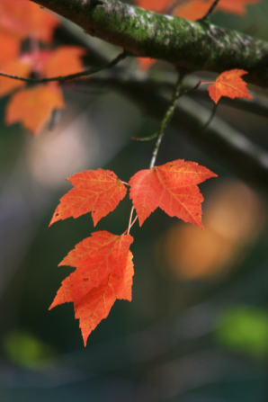 A close-up view of four red leaves hanging from the branch of a tree.