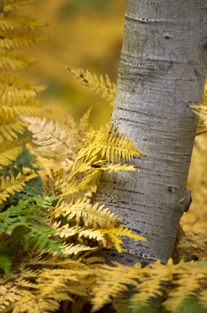 A white tree trunk surrounded by yellow leaves and a few green leaves.