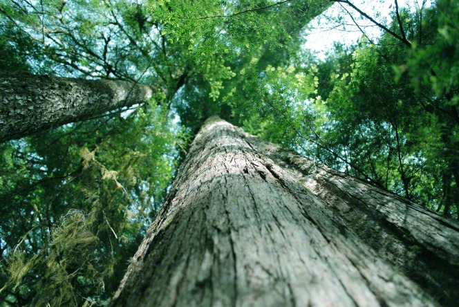 An upward view of the large trunk and green leaves of a cedar tree.