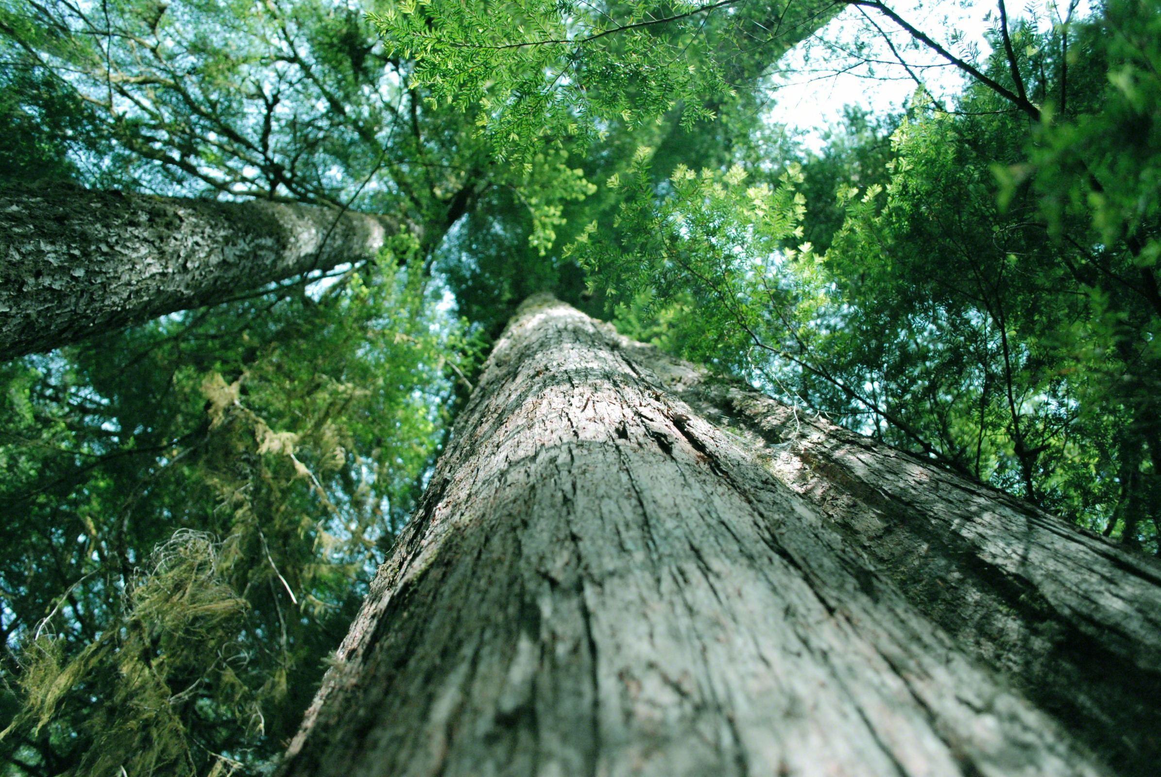 Pictures of cedar trees - Share