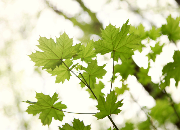 Light green maple leaves on a branch in the spring.