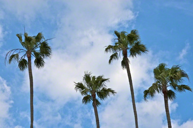 Tall palm trees in California against a blue sky with clouds.