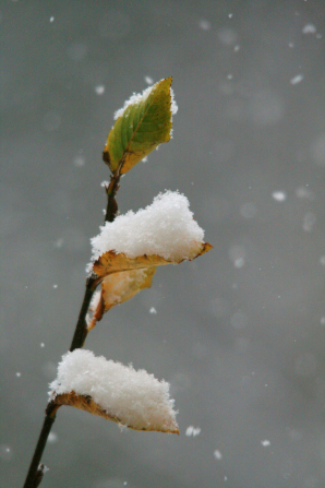 Three yellow and green leaves on a twig piled with snow while snowflakes fall from the sky.
