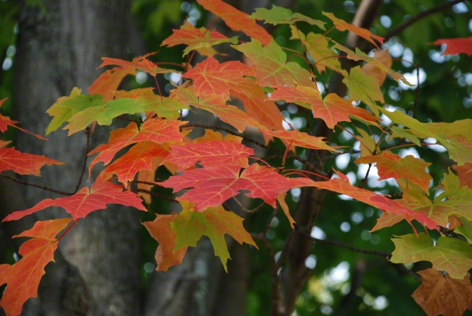 Green, orange, and red leaves hanging from a tree in the Sacred Grove.
