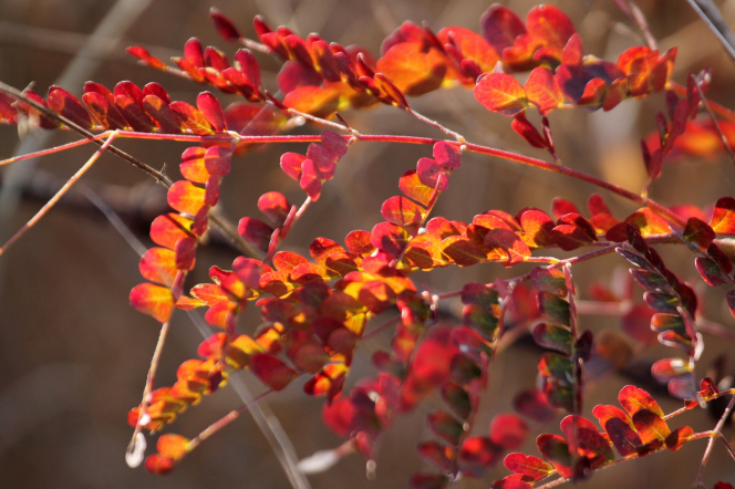 Branches of a plant with small red leaves partially in sunlight on an autumn day.