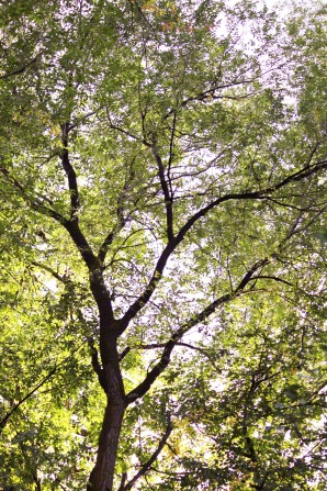 A view up toward a large tree with yellow and green leaves.