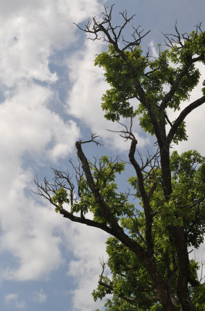 Clouds frame an image of a tall green tree.