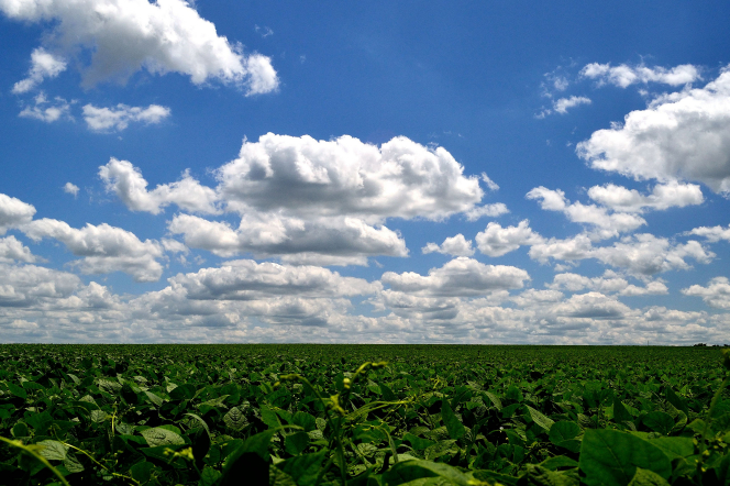 A field of green crops with a blue sky and clouds overhead.