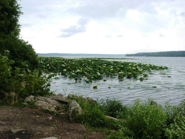 Water lilies in the Mississippi River by Nauvoo, with rocks and trees on the banks.