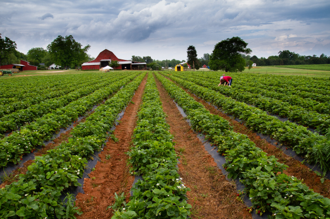 Farmers picking strawberries in a field, with two red barns in the distance.