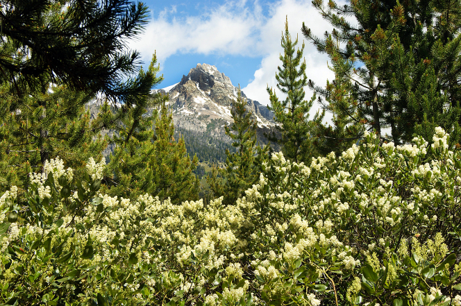 A view of the Grand Teton mountain range, with white wildflowers and trees in the foreground and clouds in the sky overhead.