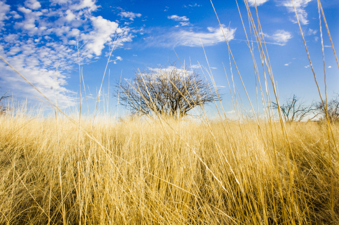 A field of yellow grass with a tree in the center and a blue sky with clouds.