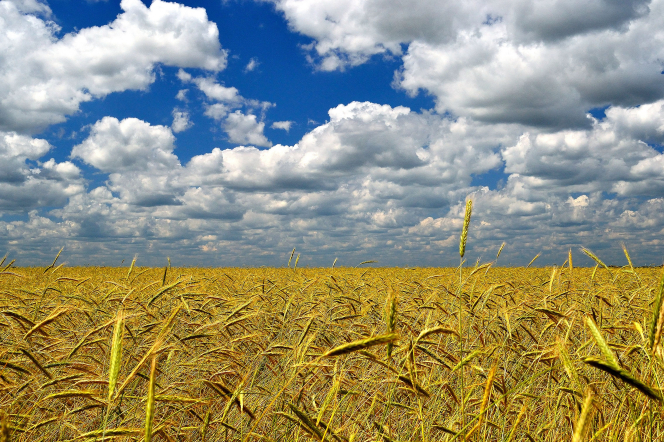 A field of wheat with a bright blue sky and clouds overhead.