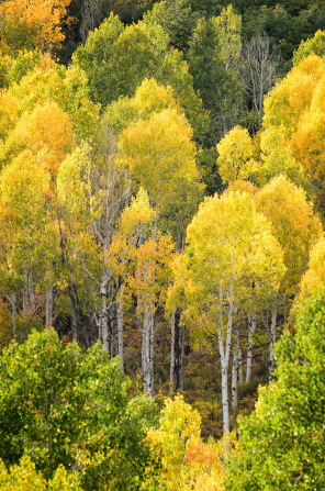 A grove of aspen trees with leaves changing from green to bright yellow in the autumn.