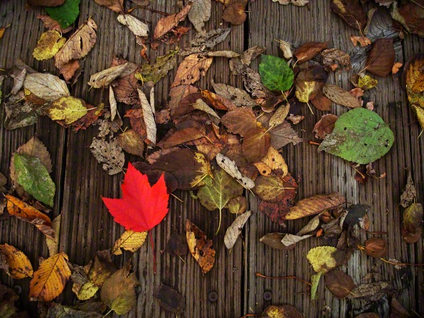 A bright red leaf among older brown, yellow, and green leaves that have fallen from the trees in autumn.