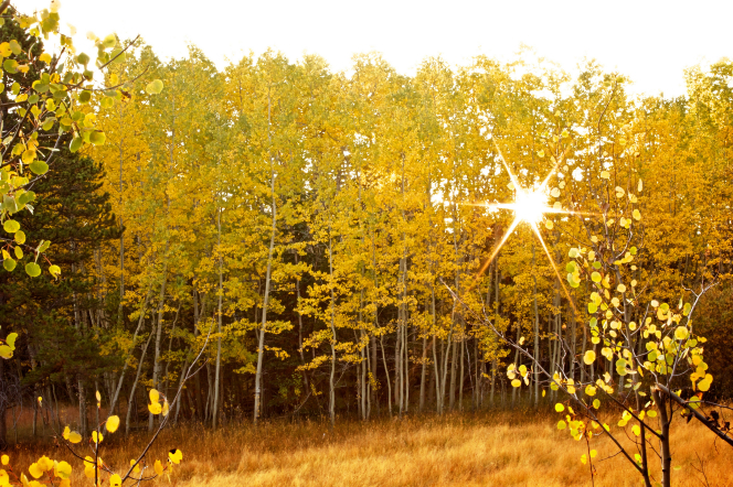 The sun shining through the bright yellow leaves of aspen trees in a grove on an autumn day.