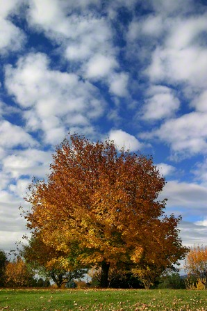 A row of trees with orange and yellow leaves on a sunny day in autumn, with a blue sky and white scattered clouds.
