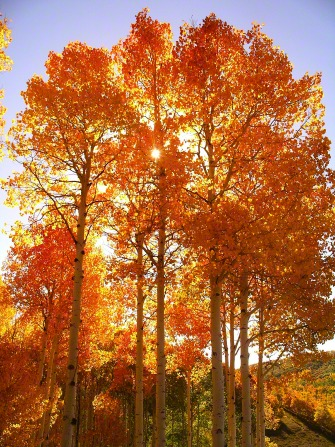 The sun is shining through bright orange leaves on tall quaking aspen trees, with a clear blue sky above.