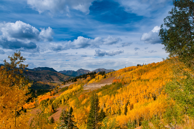 A forest of trees with yellow and orange leaves on a mountainside in the fall, with a blue sky and clouds beyond.