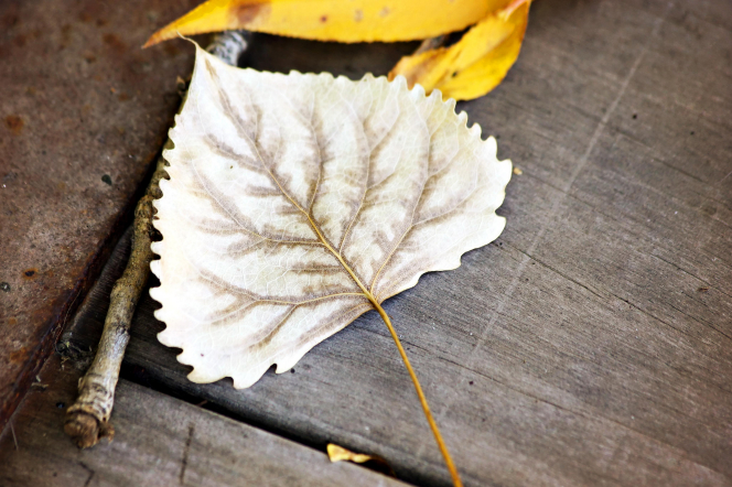 A close-up view of a dead light brown leaf next to some yellow leaves and a branch.
