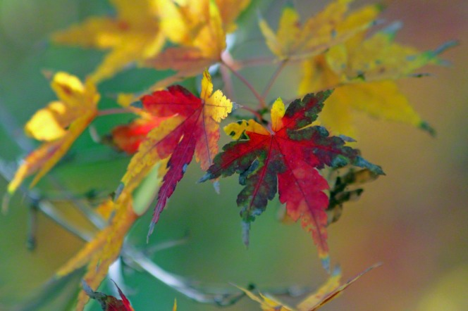A branch from a Japanese maple tree with leaves that have changed to yellow, green, and red.