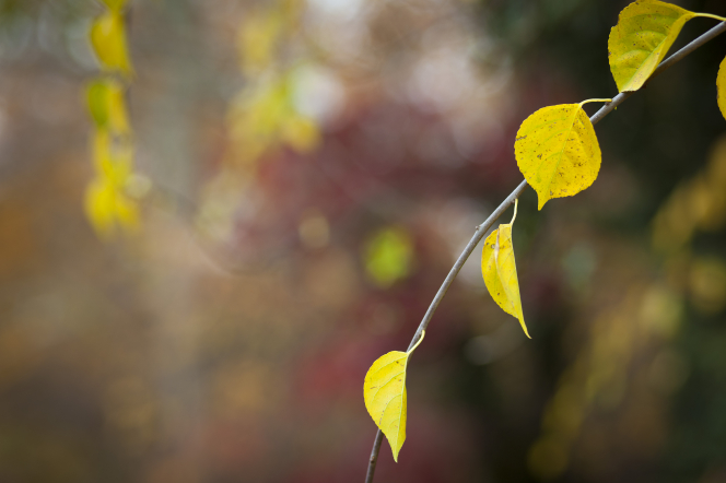 A branch with four small yellow leaves, with other leaves faded in the background.