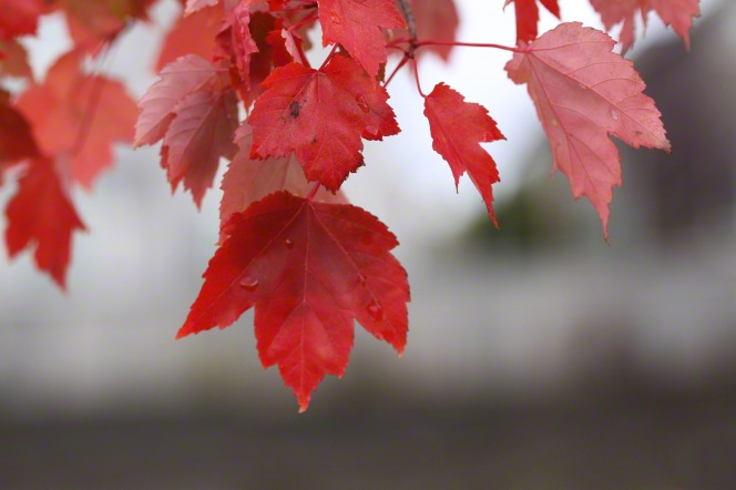 A branch with a few vivid red leaves hanging down with a couple of water drops on an autumn day.