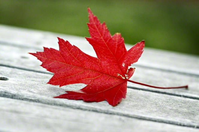 A single bright red maple leaf that has fallen onto a wooden deck in autumn.