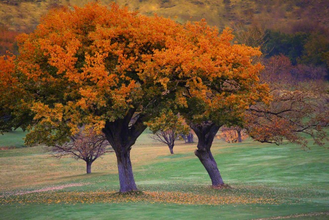 Two trees with bright orange leaves that are starting to fall and gather on the green grass below in the autumn.