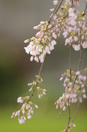 Clusters of little pink blossoms on thin branches of a tree.