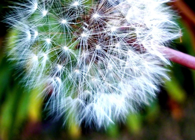 A dandelion with white seeds all over and green leaves in the background.