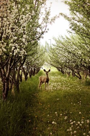 A deer standing in an orchard of trees covered in white blossoms, with yellow flowers and dandelions scattered across the grass.