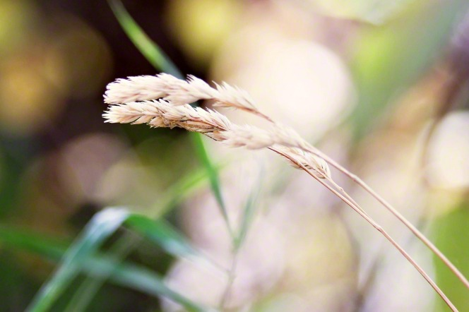 A close-up view of two strands of grass with four clusters of seeds fraying out.