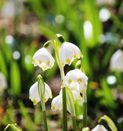 Little bell-shaped white flowers with green tips, known as spring snowflakes, in a garden.