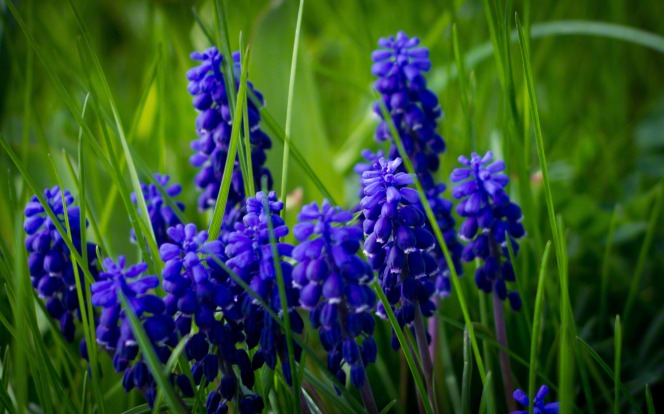 A cluster of purple hyacinths with green grass growing around them.